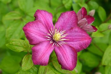 Pink flower of a klematis (Clematis), grade from Lanuginoz's gro