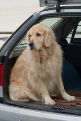 Labrador sitting in car
