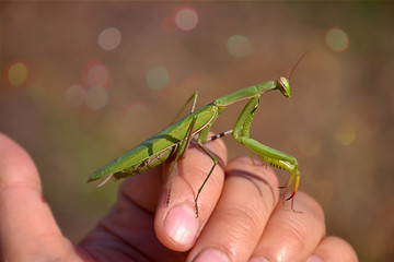 mantis sitting on a hand