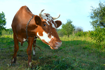 cow on meadow 2