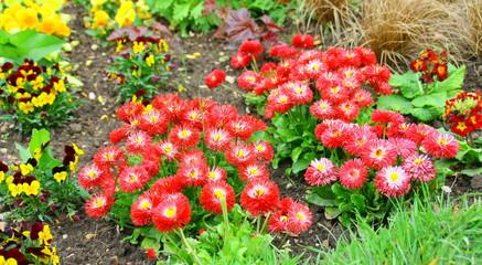 pâquerettes rouges dans massif printanier