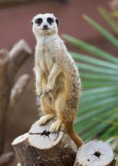 meerkat  on tree