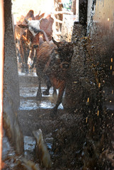 The weekly washing of cows - Village of Pomerini - Tanzania - Af