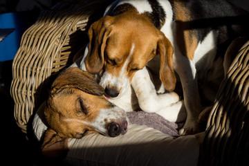 Beagle washing Beagle