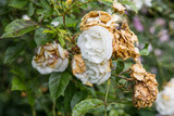 Wilted white roses in late summer poster