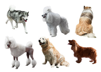 Set of dogs. Isolated