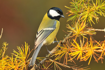 Great tit standing on a branch of larch tree