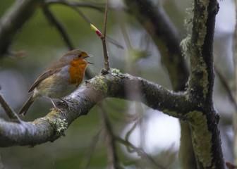 Robin Red Breast