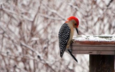 Red bellied woodpecker winter