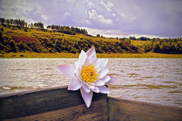 Water Lily on a wooden boat