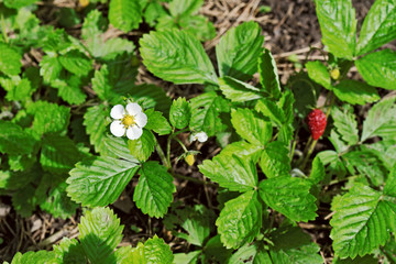 White blossom and red berry at the wild strawberry