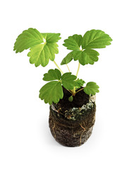 Young seedling of the strawberry in peaty tablet