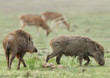 A pair of wild boars in the grassland of Jim Corbett