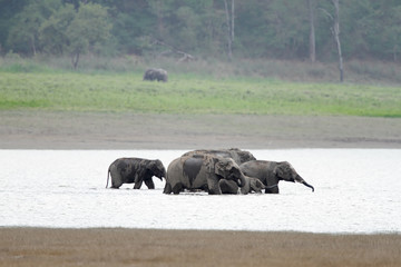 Elephants cooling down in Ram Ganga river, Jim Corbett