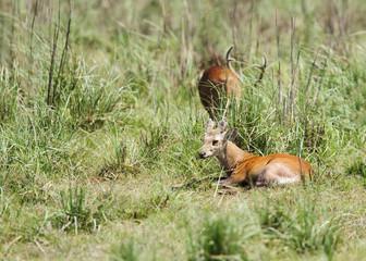 Hog deer in the grassland of Dhikala, Jim Corbett