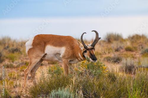 Staande foto Antilope Utah Pronghorn American Antelope - Antilocapra americana