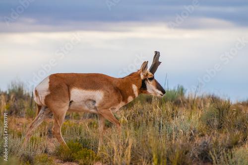 Tuinposter Antilope Utah Pronghorn American Antelope - Antilocapra americana