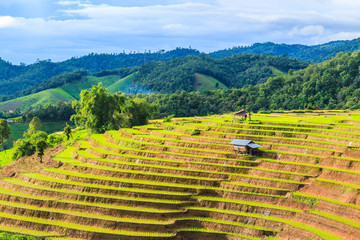 Rice field at Pa Pong Peang in Chiangmai province of Thailand