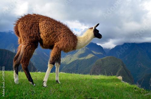 Fotobehang Lama Lama grazing on the ruins of Machu Picchu