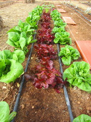 oak leaf and romaine lettuces with drip irrigation