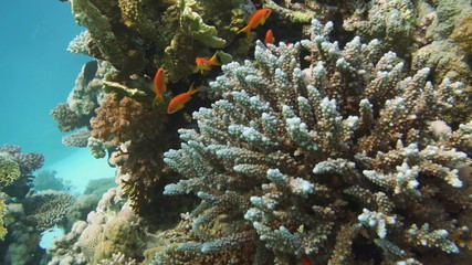 Coral Reef Scene with tropical fish in Red Sea