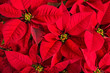 Leinwanddruck Bild - Closeup of red poinsettia flowers
