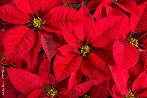 Closeup of red poinsettia flowers - 73701168