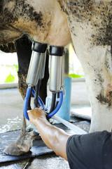 Milking cows machine