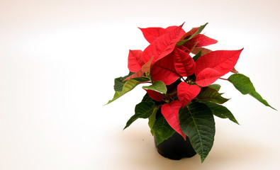 Poinsettia Flower frame
