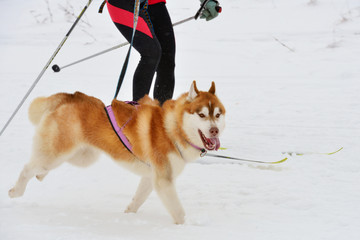 Husky dog during skijoring competition