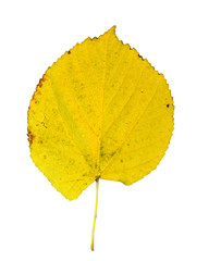 poplar autumn yellow green leaf isolated