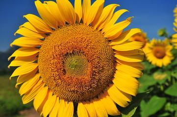 Sunflowers Head Close-Up Shot