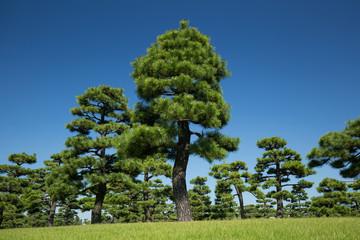 皇居外苑の黒松並木