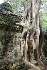 Kapokbaum im Ta Prohm Tempel