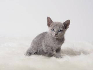 お座りしたロシアンブルーの子猫