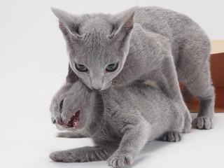 子猫をくわえるロシアンブルー