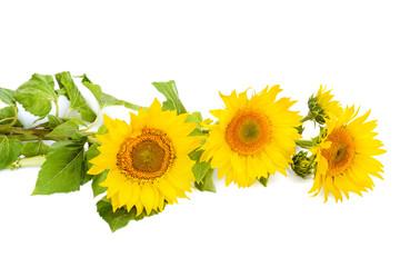 flowers sunflower