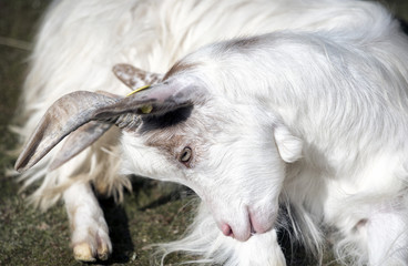 White goat seated bended head close up