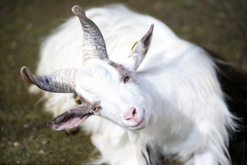 White goat staring fixed gaze seated