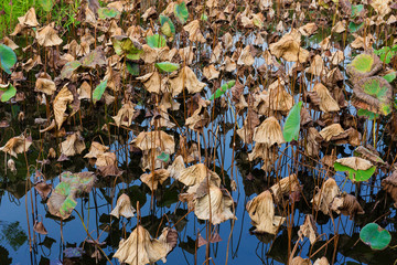 Dead of water lily