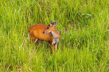 Female Barking Deer (Muntjacs or Mastreani deer)
