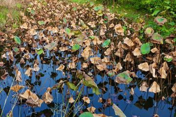 Dead of lotus