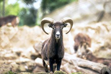 Montecristo goat portrait Italy