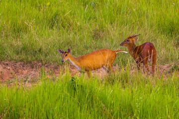 Couple of Barking Deer (Muntjacs or Mastreani deer)