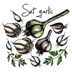 Set of garlic. Illustrations. Vector.