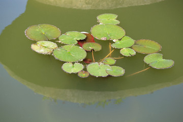 Lily pads on surface of pond