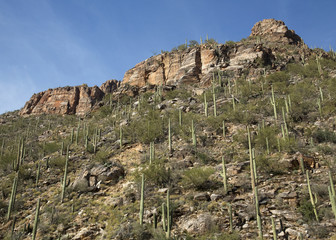 Hill of Saguaros