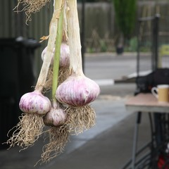 Braid Of Garlic Hung In Shaded, Drafty Area To Dry