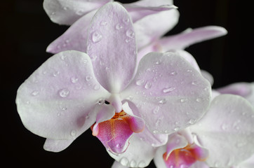 light purple orchid with water drops