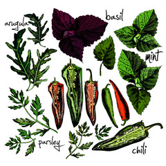 Vector set of hand drawn spices and herbs